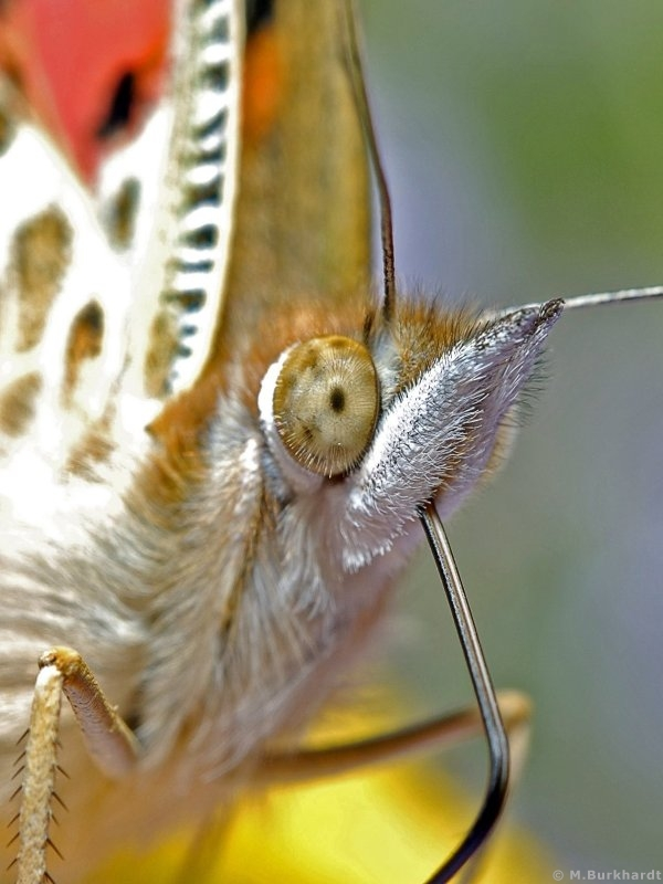 Painted Lady - Cloesup