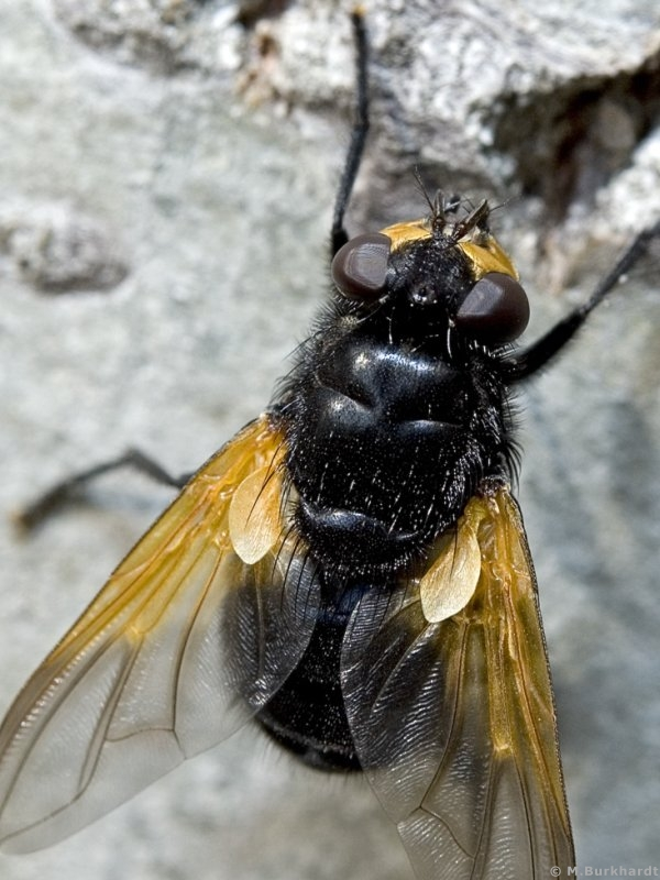 Noon Fly (Mesembrina meridiana)