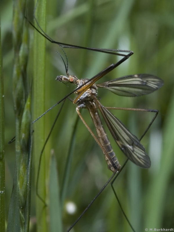 Crane-Fly - Portrait